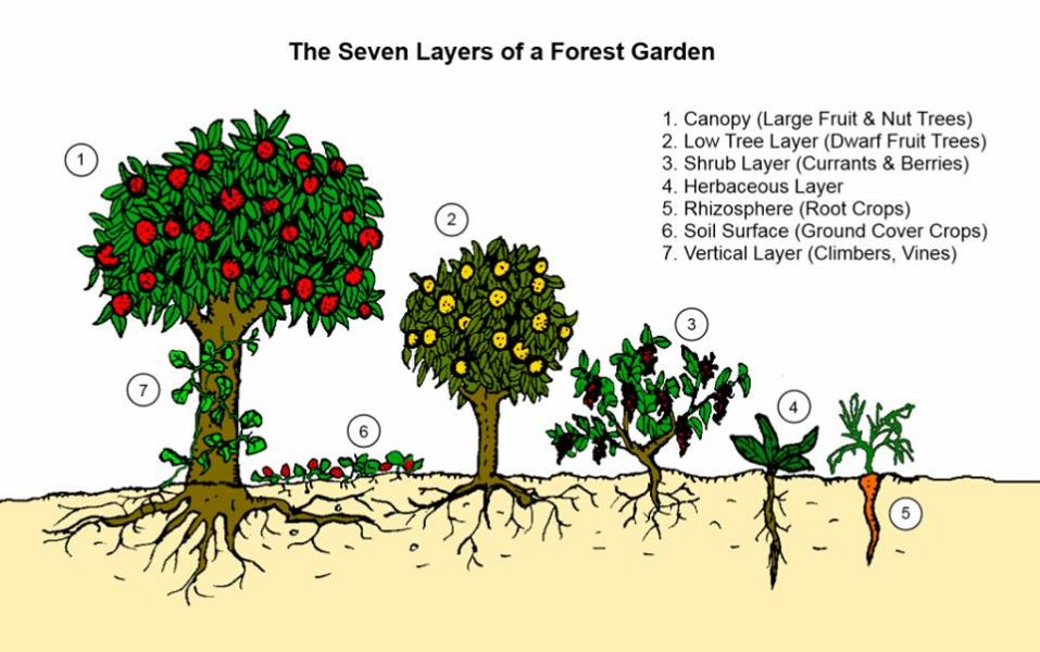 Learn the seven layers of a forest garden and how each supports the other.